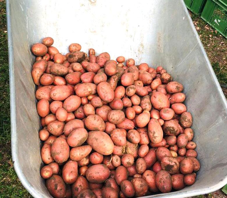 Endlich Kartoffeln