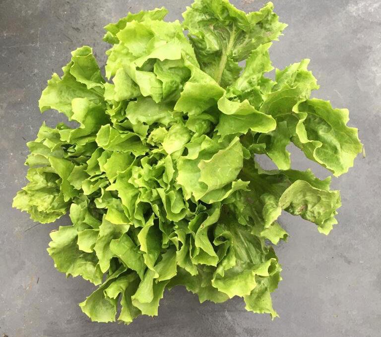 Endivien Salat