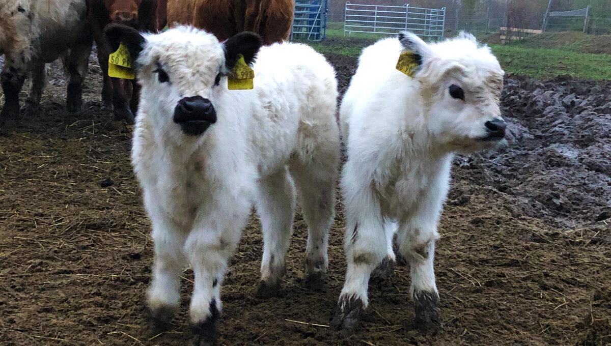 3x kleine Kuh